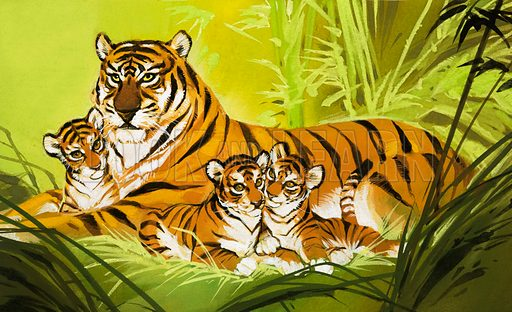 Family of tigers.