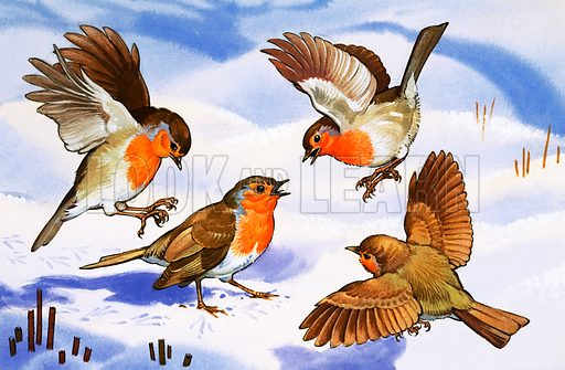Four robins in the snow.