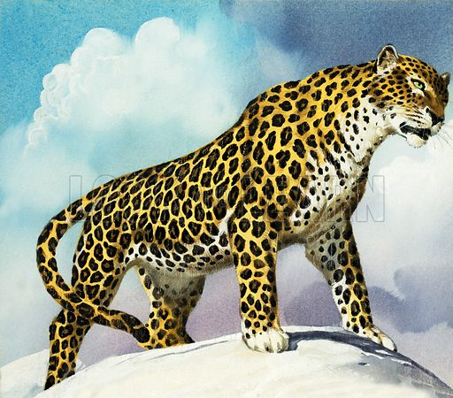 Leopard in the snow.