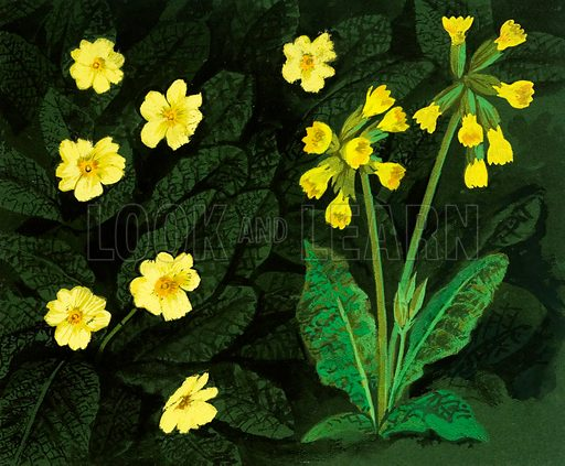 The Flowers That Bloom: Spring's Heralds. Primula. Original artwork from Look and Learn no. 463 (28 November 1970; reused in Look and Learn Book 1983).