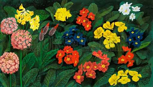 The Flowers That Bloom: Spring's Heralds. The Scarlet Pimpernel stands out amongst other forms of primrose. Original artwork from Look and Learn no. 463 (28 November 1970; reused in Look and Learn Book 1983).
