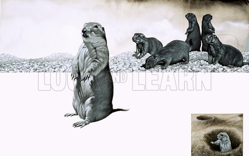 The Prairie Dog of North America. Original artwork fr Look and Learn book 1984.