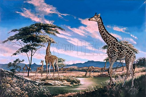 Giraffes in Africa.