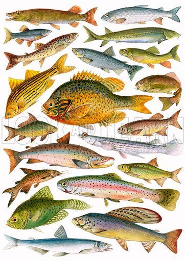 Fresh-water Fish – Canadian.