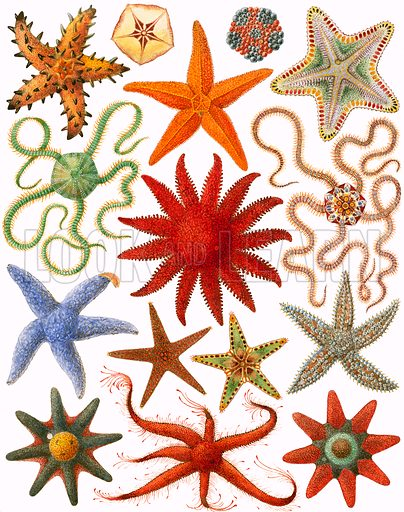 Starfish, picture, image, illustration