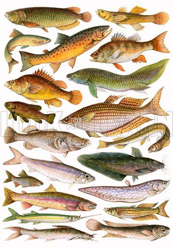 Fresh Water Fishes of the Empire – Australian Region.