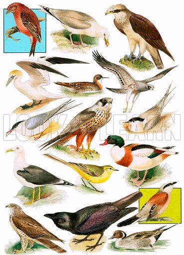 British Birds. Original artwork for Look and Learn issue of 23 June 1979.