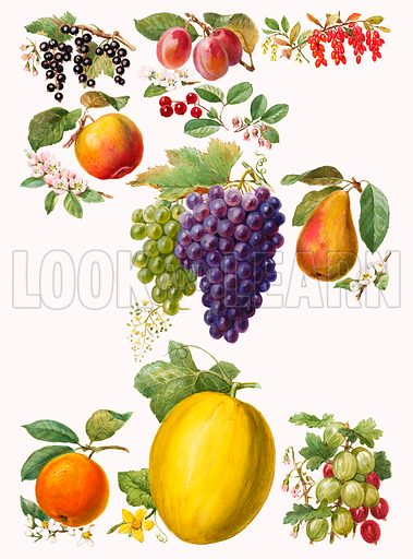 Fruits. Original artwork for Look and Learn 1001 Questions and Answers Book.