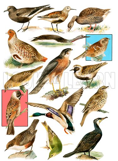 British Birds. Original artwork for Look and Learn issue of 30 June 1979.