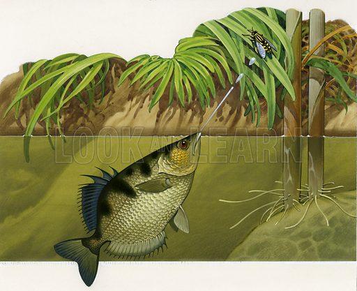Archer fish.