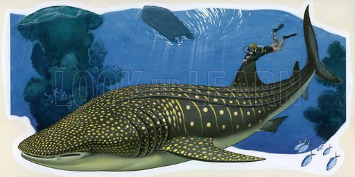 Whale shark and diver.