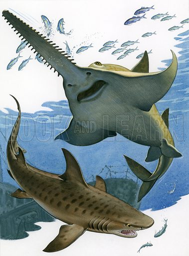 Sawfish and tiger shark.