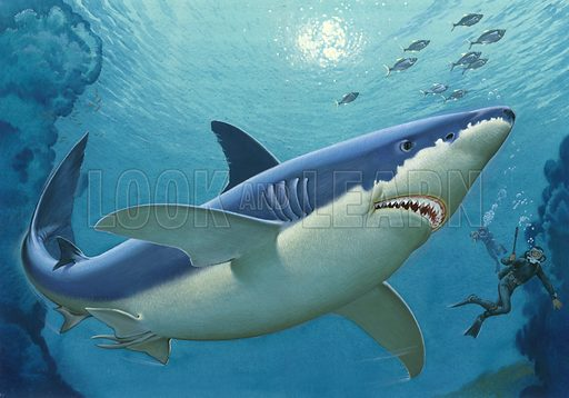 Great White Shark, picture, image, illustration