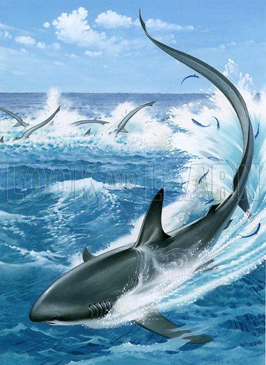 Thresher shark.
