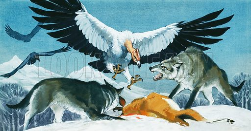 Teratornis has the largest wingspan of any known flying bird.  It is seen here in dispute with two Dire Wolves over the carcase of a Pronghorn Antelope.  Professionally re-touched illustration.