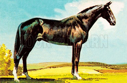 racehorse, picture, image, illustration