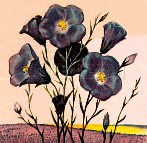 Flax. NB: Scan of small illustration.