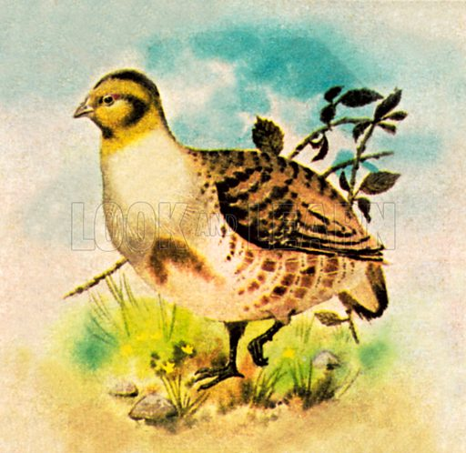 Partridge. NB: Scan of small illustration.