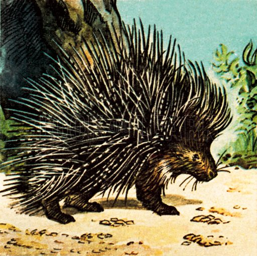 Porcupine. NB: Scan of small illustration.
