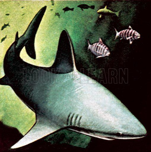 Killer shark. NB: Scan of small illustration.
