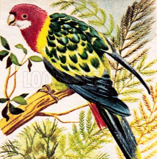 Broad-tailed parrots.  NB: Scan of small illustration.