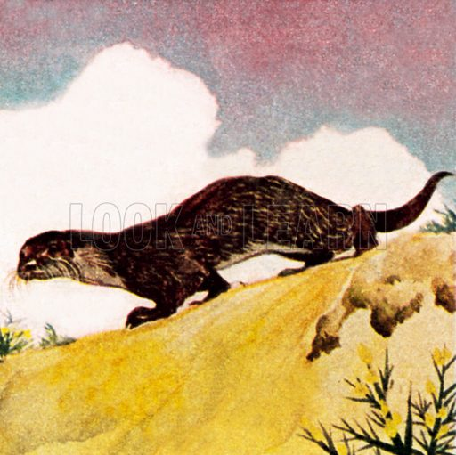 An otter. NB: Scan of small illustration.