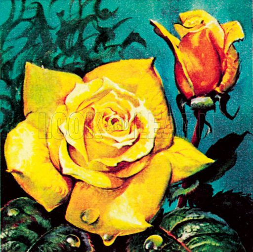 Rose with dew. NB: Scan of small illustration.
