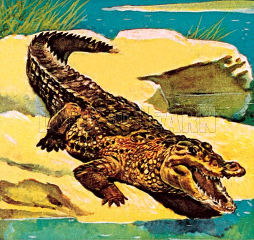 Crocodile. NB: Scan of small illustration.