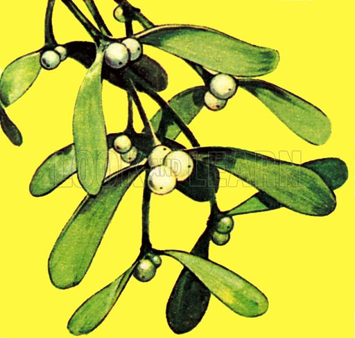 Mistletoe. NB: Scan of small illustration.