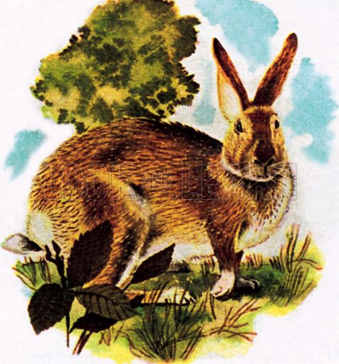 Hare. NB: Scan of small illustration.