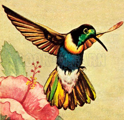 Humming Bird. NB: Scan of small illustration.