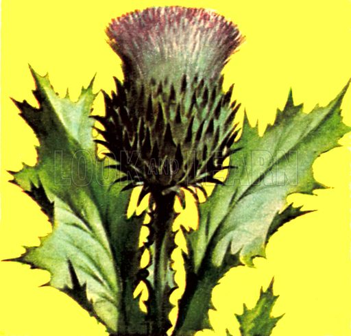 Thistle. NB: Scan of small illustration.