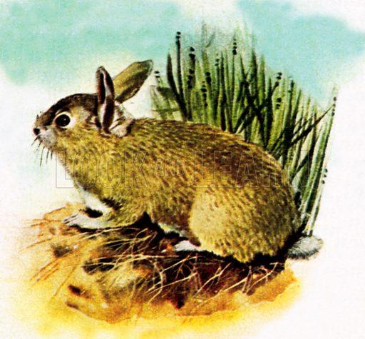 Common English rabbit. NB: Scan of small illustration.