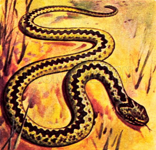 Adder. NB: Scan of small illustration.