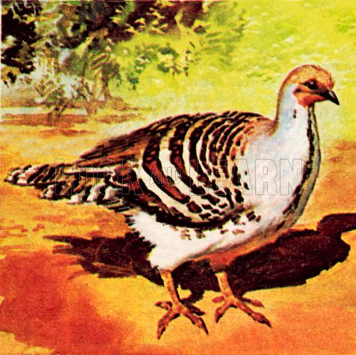 The mound builder bird, which can fly immediately after being hatched. NB: Scan of small illustration.