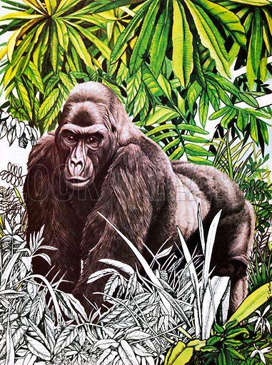 Gorilla, picture, image, illustration