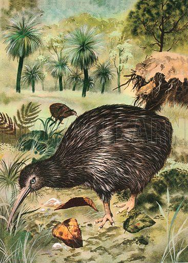 Kiwi, picture, image, illustration