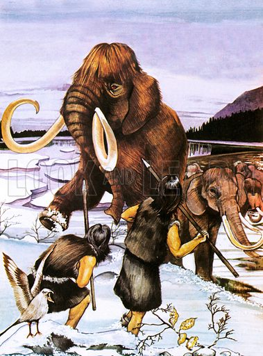 Prehistoric men hunting woolly mammoths. The Woolly or Siberian mammoth lived during Paleolithic times, and was hunted by man. It was very common with the Arctic circle, being well adapted to the conditions, with its long, shaggy hair and thick layer of body fat.
