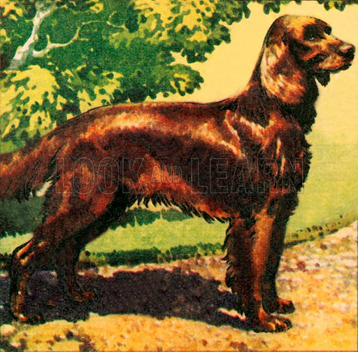 Red Setter. NB: Scan of small illustration.