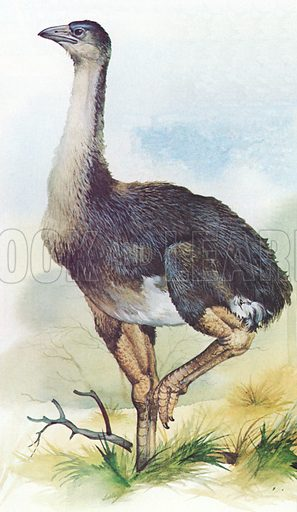 Moa, Dinornis Maximus, of New Zealand which became extinct in about 1850.