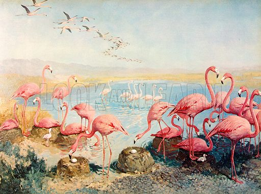 Pink flamingoes. Illustration from Once Upon a Time.