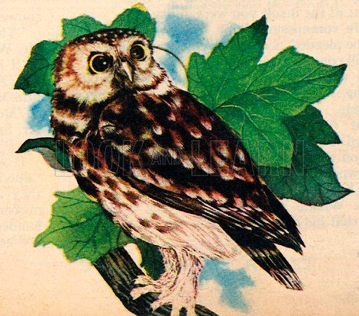 The Little Owl.
