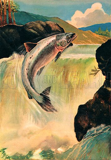 """Salmon. """"The salmon may leap twenty falls like this to reach the breeding ground for egg laying.""""."""