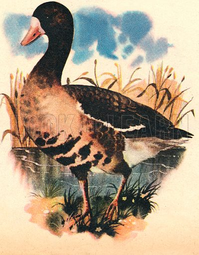 Wings Across the World: Britain's Winter Visitor, the White Fronted Goose.