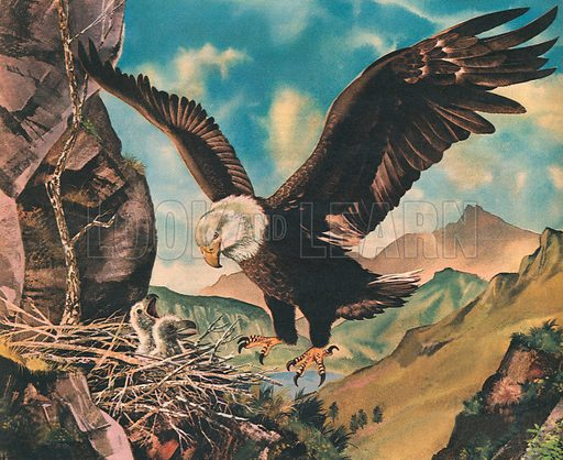 King of the Mountains: The Great Bold Eagle.