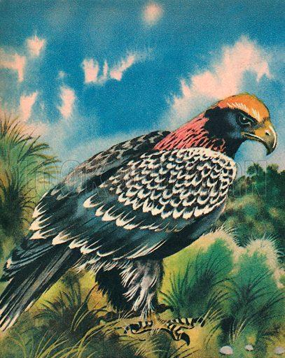 The Black Eagle.