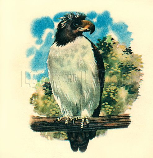 """Monkey-eating Eagle. """"The powerful monkey-eating Eagle of the Philippines lives in forests where it is a relentless hunter of monkeys.""""."""