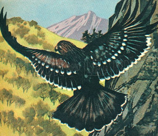"Spotted Eagle. ""The Spotted Eagle is a native to Northern Europe and Siberia.""."
