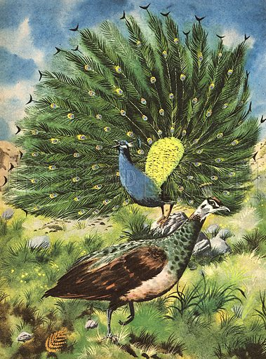 Wonders of Nature: Proud as a Peacock.