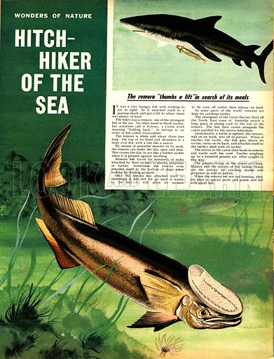 """The remora fish """"thumbs a lift"""" in search of its meals."""